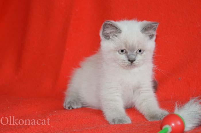 Чистокровные плюшевые шотландские котята.